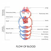 stock photo of cardiovascular  - vector illustration of flow of blood in circulatory system - JPG