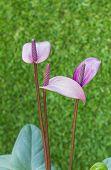pic of arum  - violet Anthurium flower in botanic garden ( Araceae or Arum) ** Note: Shallow depth of field - JPG