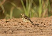 Immature Red-throated Pipit (anthus Cervinus)