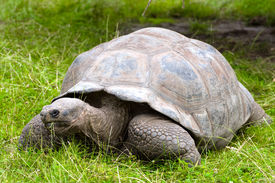 stock photo of the hare tortoise  - the Galapagos giant tortoise on the grass - JPG