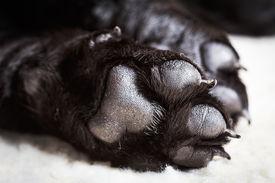 pic of labrador  - Dog labrador paw with pads on a light carpet - JPG
