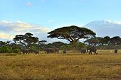 stock photo of kilimanjaro  - Elephant with Mount Kilimanjaro in the background - JPG