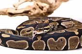 pic of python  - Picture of a ball python on a white background  - JPG