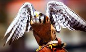 stock photo of spread wings  - A captive Kestrel spreads its wings whilst on its handlers arm - JPG
