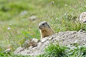 stock photo of marmot  - Wild marmot stands guard in the mountains