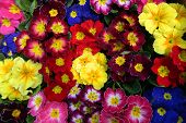 picture of primrose  - Fancy a greater amount of early evening primrose flowers and the announcement of the arrival of spring - JPG