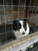 picture of herding dog  - Sweetest dog you will ever meet who seems to be worrying a lot - JPG