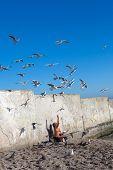 picture of flock seagulls  - man feeding seagulls on the seashore - JPG