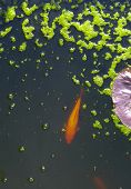 foto of koi  - Golden Koi Swimming in a dark pond with bright green algae covered bubbles - JPG