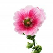 image of hollyhock  - the hollyhock flower isolated on white background