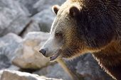 stock photo of grizzly bear  - Profile portrait of a big grizzly brown bear Ursus arctos horribilis  - JPG