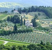 pic of olive trees  - Landscape in Chianti  - JPG
