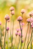 foto of chive  - Spring flower chives on sunny day - JPG