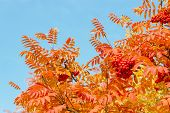 picture of rowan berry  - Red rowan leaves and berries against the blue sky - JPG