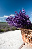 stock photo of lavender field  - Picking Lavender in the fields and collect them in a cane basket - JPG