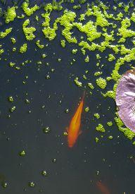 stock photo of green algae  - Golden Koi Swimming in a dark pond with bright green algae covered bubbles - JPG