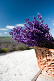 picture of lavender field  - Picking Lavender in the fields and collect them in a cane basket - JPG