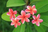 stock photo of frangipani  - Close up of exotic frangipani flower  - JPG