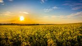 stock photo of rape  - Sunset and idyllic country landscape with field of yellow rape - JPG