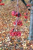 image of rowan berry  - Red bunches of rowan berries in late autumn - JPG