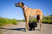 stock photo of great dane  - Great Dane standing over little black dog with blue sky - JPG