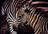 picture of pony  - close up face of young african wilderness zebra pony in field - JPG