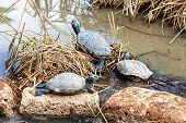 foto of swamps  - Turtles or tortoises on reed or cane and stone on swamp or decorative pond - JPG