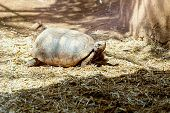 pic of dry grass  - Turtle or tortoise on ground with straw or dry grass - JPG
