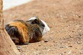 stock photo of hamster  - Guinea pig or hamster on the ground near tree - JPG