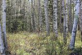 pic of conifers  - White Birch and Conifer Trees at Fort Point State Park - JPG