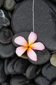 stock photo of frangipani  - Pink frangipani and wet stones    - JPG