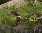 picture of raccoon  - Young raccoon sees his reflection in a peaceful lake - JPG