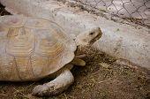 image of tortoise  - Aldabra giant tortoise  - JPG