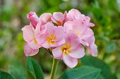 image of frangipani  - Bunch of pink Frangipani Frangipanni or plumeria tropical flowers - JPG