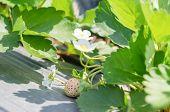 foto of strawberry plant  - fresh Strawberry plants already ripe to harvest - JPG