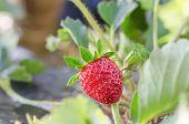 image of strawberry plant  - fresh Strawberry plants already ripe to harvest - JPG