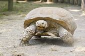 stock photo of spurs  - A giant African spurred tortoise  - JPG
