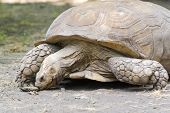 foto of spurs  - A giant African spurred tortoise  - JPG