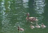 pic of duck-hunting  - duck, fowl, bird, swim, lake, summer, animals, wildlife, nature, hunting, quack, leaves, colorful, bright, beautiful ** Note: Visible grain at 100%, best at smaller sizes - JPG