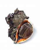 picture of whelk  - Veined rapa whelk overgrown with small mussels - JPG