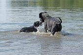 stock photo of great dane  - Black Great Dane and a small black dog are playing in the water - JPG