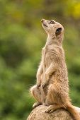 picture of slender  - A slender-tailed meerkat looking watchfully into the distance while sitting upright on a rock with its paws dangling in front of its body shot against a blurred leafy background ** Note: Soft Focus at 100%, best at smaller sizes - JPG