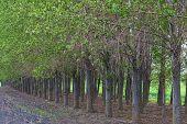 foto of cottonwood  - Cottonwood trees in a row Palouse Washington - JPG