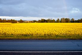 picture of rape-field  - An yellow rape field near the road. ** Note: Visible grain at 100%, best at smaller sizes - JPG