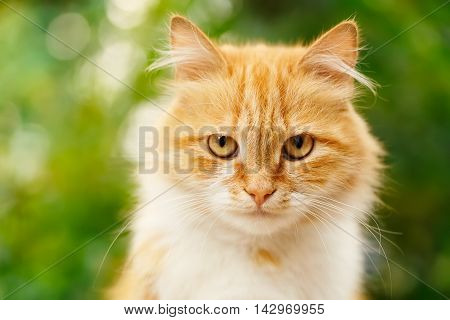 poster of Portrait of beautiful ginger cat in the garden. Red cat. Red-headed cat. Portrait of looking ginger cat. Beautiful red cat with yellow eyes