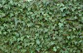 stock photo of english ivy  - solid wall of english ivy - JPG