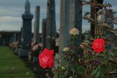 stock photo of life after death  - Rose at the cemetery after the rain - JPG