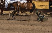 image of brahma-bull  - Fallen bronc rider about to receive a kick in the head at 2006 Russian River Rodeo Duncans Mills California - JPG