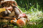 Collected In The Forest Edible Mushrooms In A Basket In A Forest Clearing. Boletus, Aspen, White Mus poster