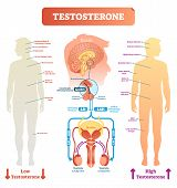 Testosterone Anatomical And Biological Body Diagram With Brain And Male Reproductive Organ Cross Sec poster